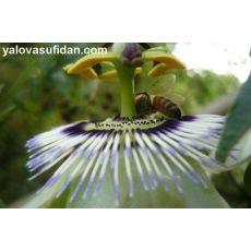 Çarkıfelek Saat Çiçeği Passiflora Caerulea