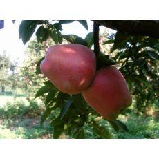 Elma Fidanı Yarı Bodur Star Krimson Delicious