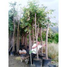 ıhlamur Ağacı ıhlamur Fidanı Tilia Tomentosa