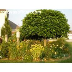 Katalpa Sigara Ağacı Bignoniaceae Catalpa 23-25 Gövde Çapı