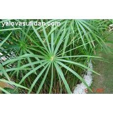 japon Şemsiyesi Cyperus Alternifolius 30-40 Cm