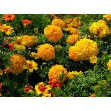 Büyük Kelle Kadife Çiçeği Kasada 45 Adet Fiyatımızdır