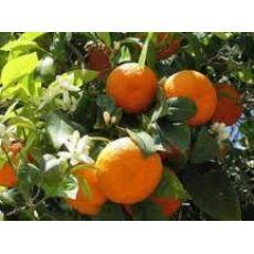 Portakal Fidanı 100-120