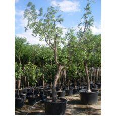 Hünnap Ağacı Ziziphus Zizyphus Gövde Çapı 30-35 Cm