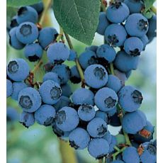 Yaban Mersini Bluecrop Likapa Fidanı Blueberry 40-60 Cm