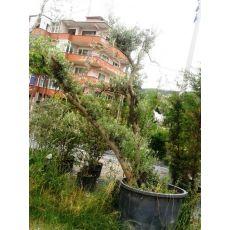 Zeytin Ağacı Doğal Halde